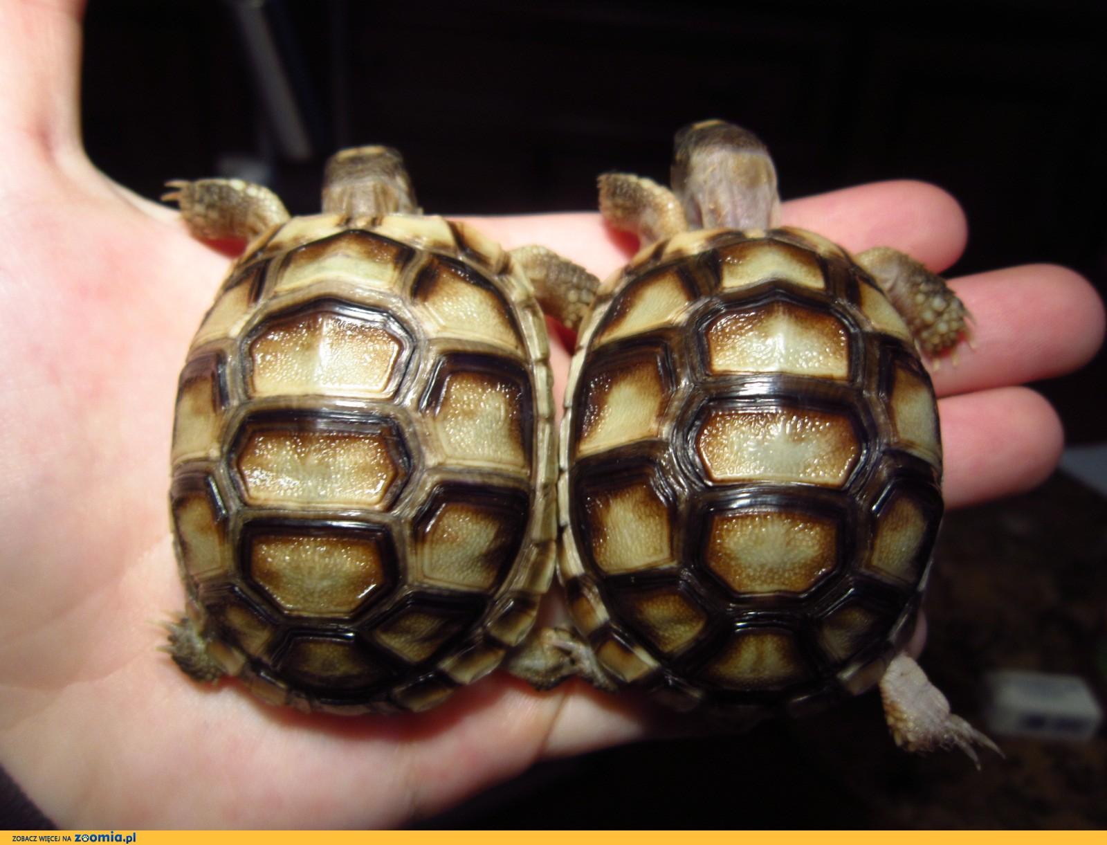 Żółw obrzeżony, żółwie Testudo marginata - maleńkie żółwiki!