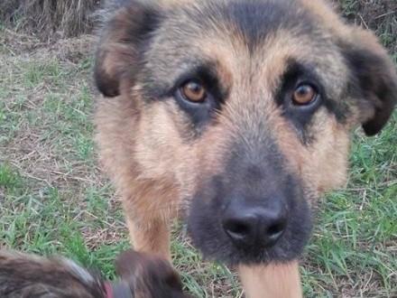 DEVON piękny pies w typie owczarka szuka ciepłego DOMU   śląskie Katowice