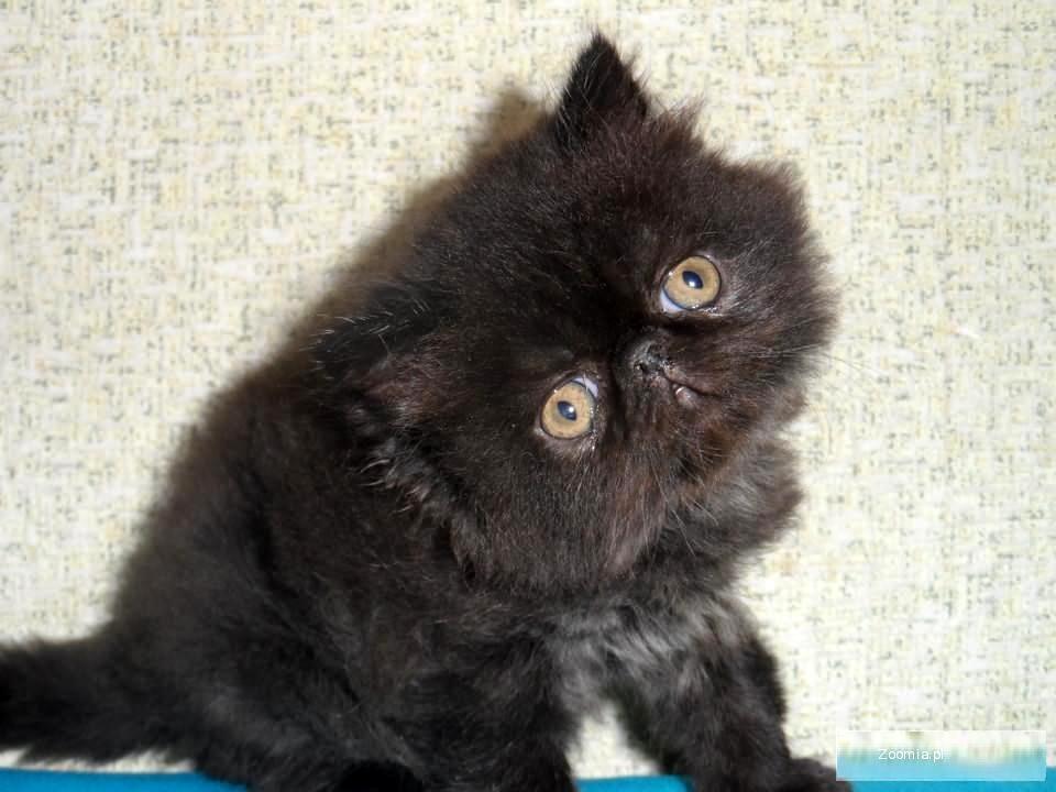 Kocięta Perskie Z Rodowodem Miotc Perski Koty Archiwum