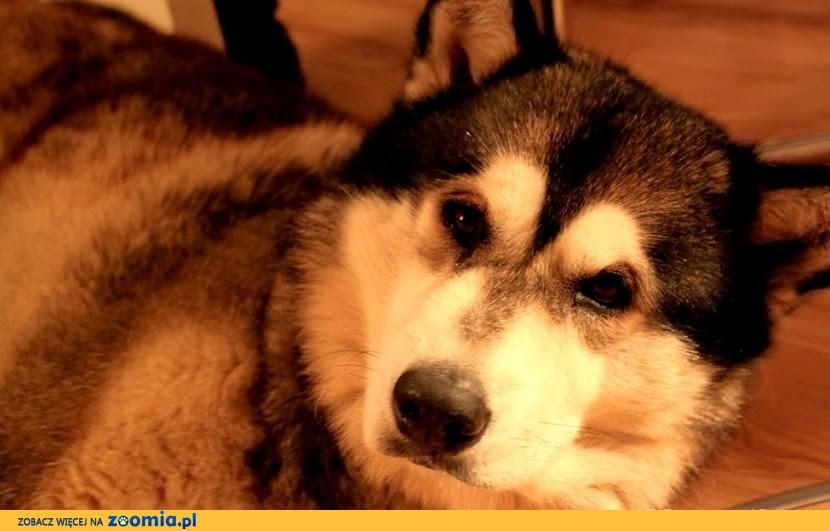 Turbo piękny, spokojny alaskan malamute szuka domu