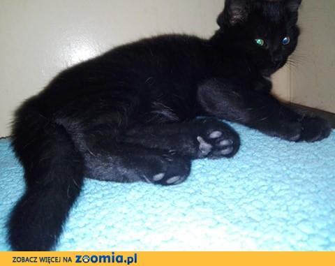 Młodziutka Maja, cudna koteczka jak węgielek, do pokochania!