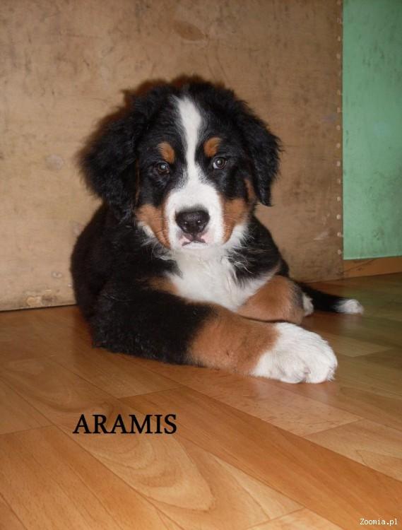Szeniaki Berneński Pies Pasterski gotowe do odbioru