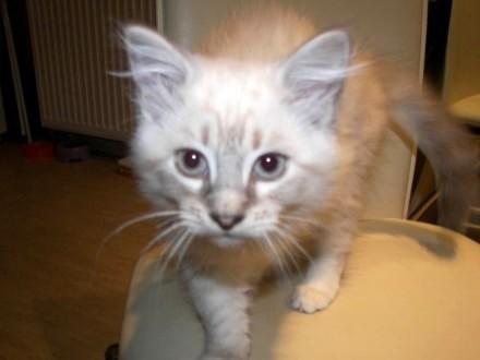 Piękna kotka Neva Masuarade