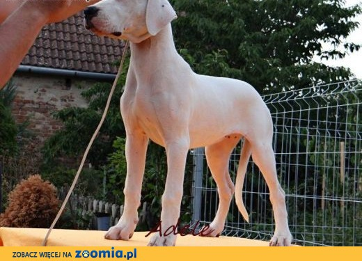 Dogo Argentino beautiful females ,  Pozostałe rasy cała Polska