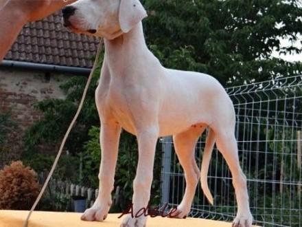 Dogo Argentino beautiful females    Pozostałe rasy cała Polska