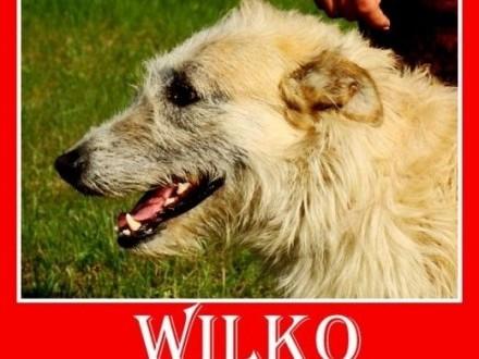 Wilczarz mix zrównoważony łagodny spokojny pies WILKOAdopcja   dolnośląskie Wrocław