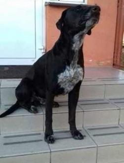 Pablo - Piękny  duży pies w typie wyżła do adopcji   mazowieckie Warszawa