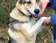 BETHOVEN - piękny psiak w typie husky uratowany z łańcucha do adopcji,  mazowieckie Warszawa