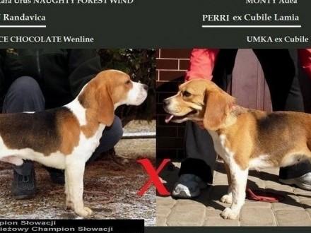 Beagle  Bigle szczenięta rodowodowe ZKwP / FCI - po Chionie Słowacj  Iwonicz-Zdrój