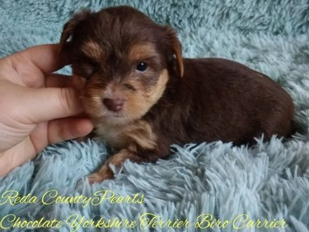 Chocolate Yorkshire Terrier Biro Carrier nie Biewer czekolada