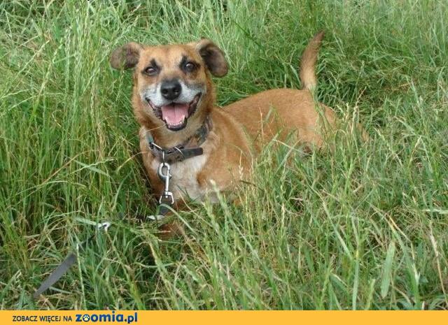 Rudy - radosny spragniony człowieka mały pies do adopcji ,  małopolskie Tarnów