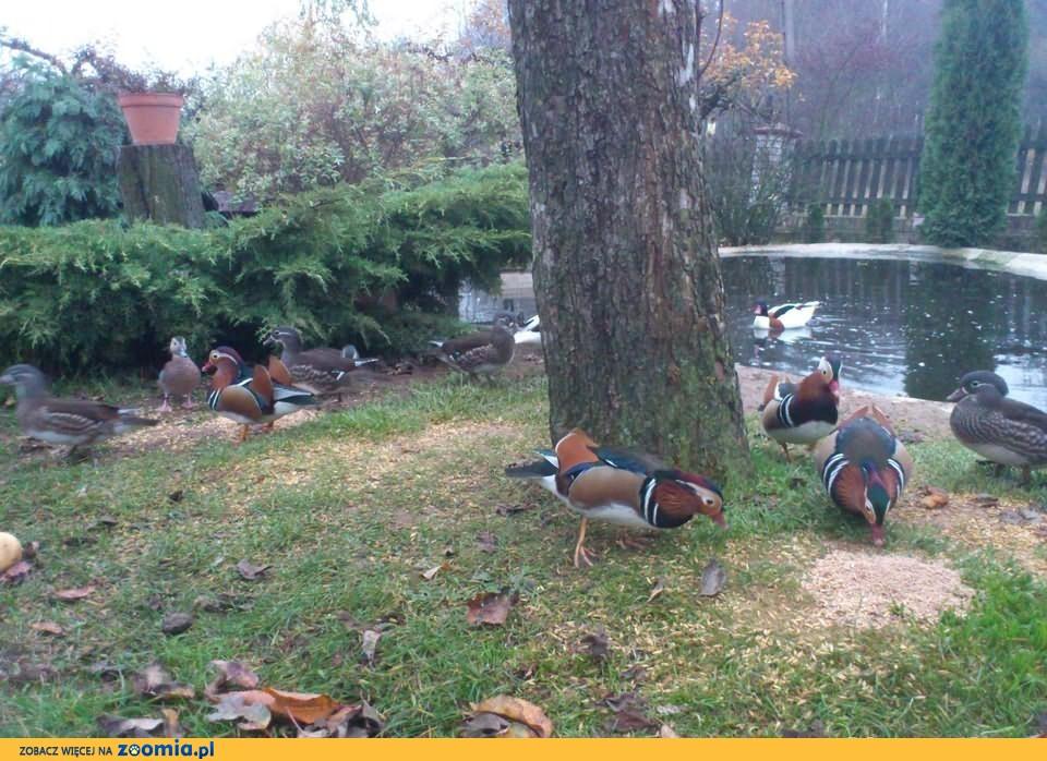 Kaczki mandarynki,karolinki.