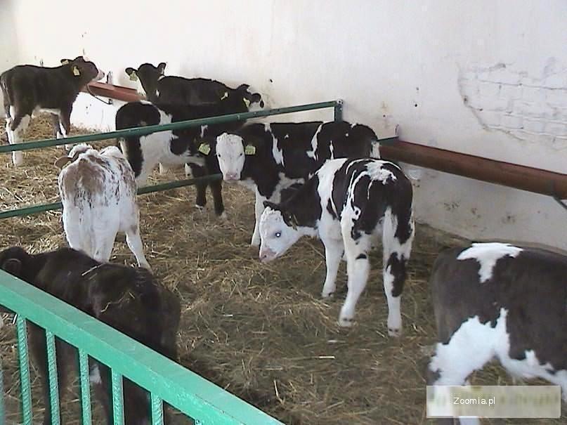 byczek, byczki, cielęta, cielaki ras mięsnych w wadze od 60 do 80kg