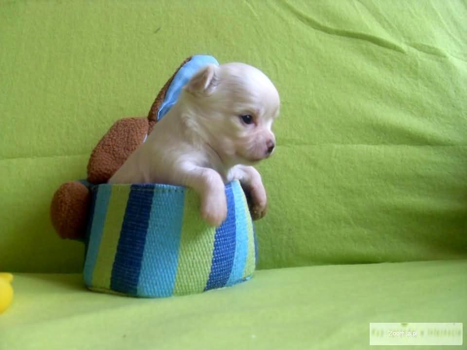 chihuahua piękne szczeniaczki