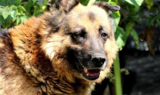 Heniek- wspaniały pies tak długo czeka na dom   mazowieckie Nowy Dwór Mazowiecki