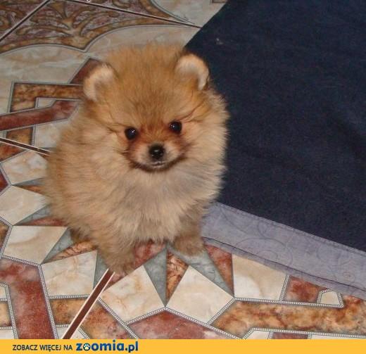 Pomeranian FCI,  śląskie Cieszyn
