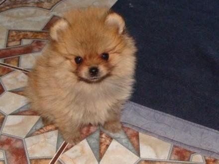 Pomeranian FCI   śląskie Cieszyn
