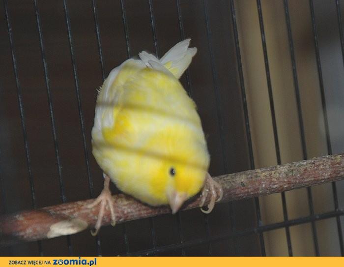 KANAREK żółty 7-miesięczny - śpiewa_