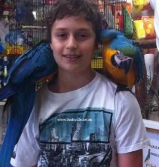 Niebieskie I Złote super oswojony Ara Papugi