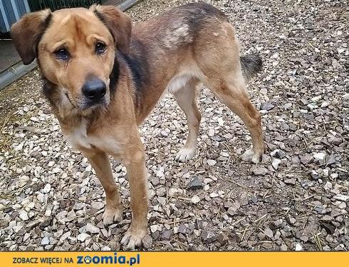 Do domu z ogrodem,duży 25 kg,młody 1,5 roku,czujny,wierny,zaszczepiony pies SYLWEK.Adopcja.