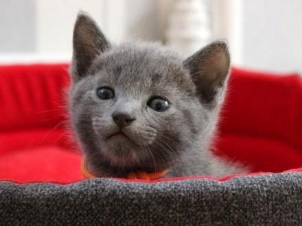 Kocięta Rosyjskie Niebieskie rodowód WCF