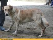 Śliczna sunia w typie labradora szuka domu