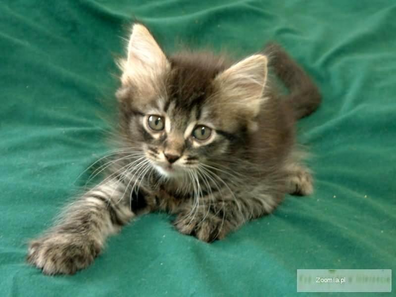Kot Syberyjski Ogłoszenia Z Hodowli Koty Syberyjskie Zoomiapl Pl 4