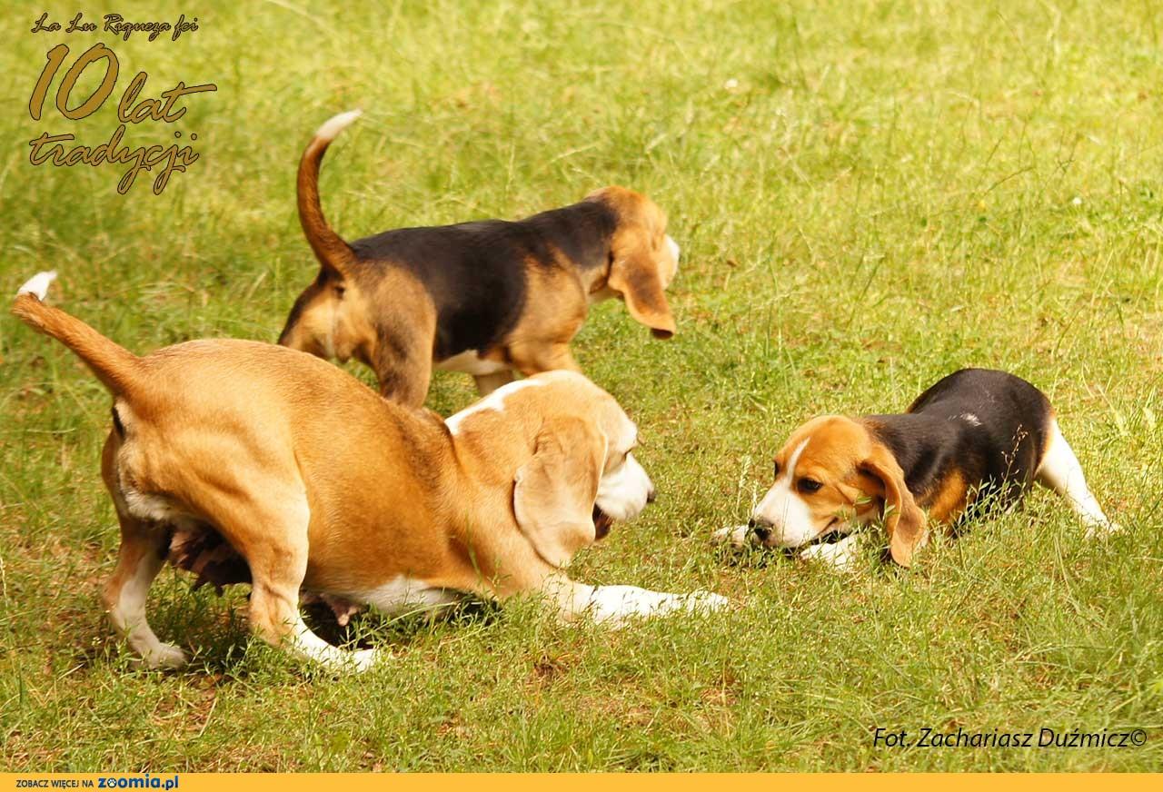 Beagle szczeniaki na sprzedaż
