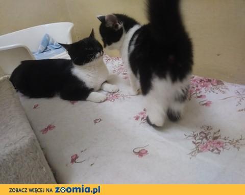 Młodziutka Mela, domowa, kochana koteczka szuka domu!