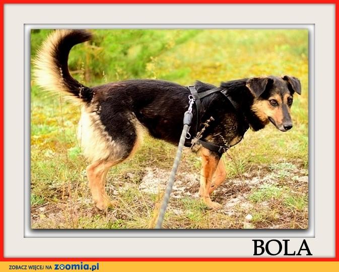 Średnia,młoda,przyjazna,kontaktowa,sterylizowana suczka BOLA_Adopcja_