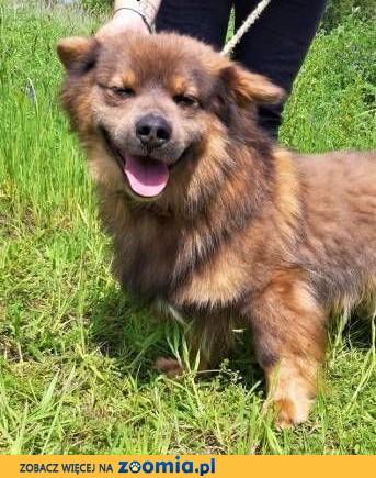 CHRUPCIO - nieduży, piękny, kochany psiak szuka domu,  wielkopolskie Poznań