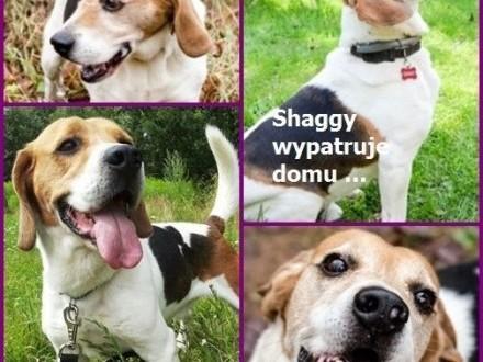 Beagle SHAGGY szuka rodziny    Beagle cała Polska