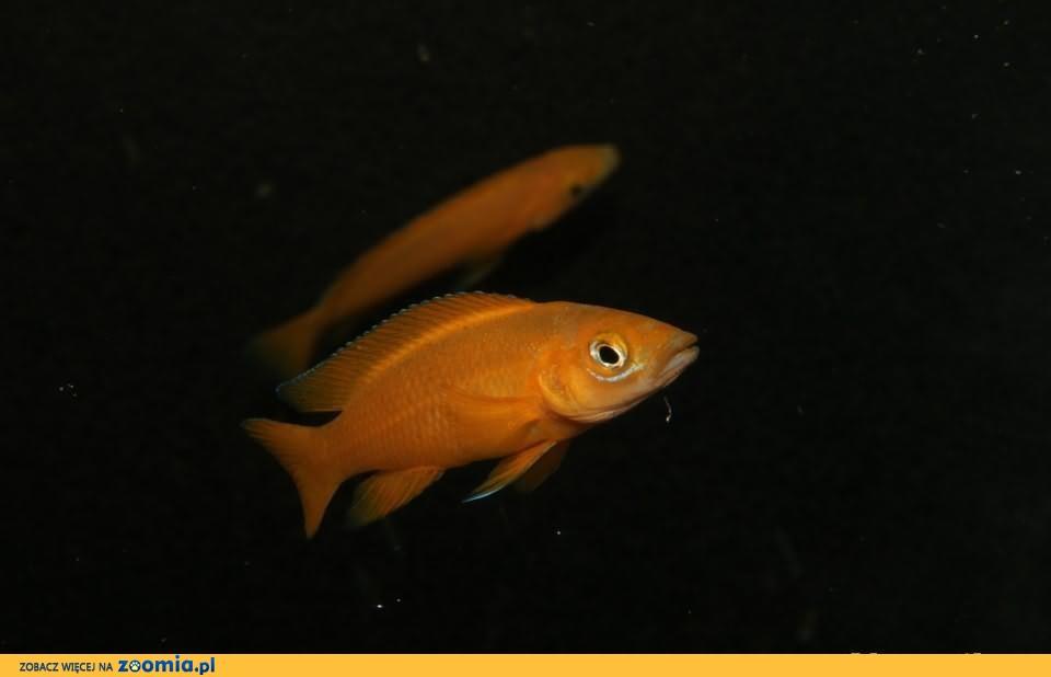 Neolamprologus Leleupi Uvira Orange