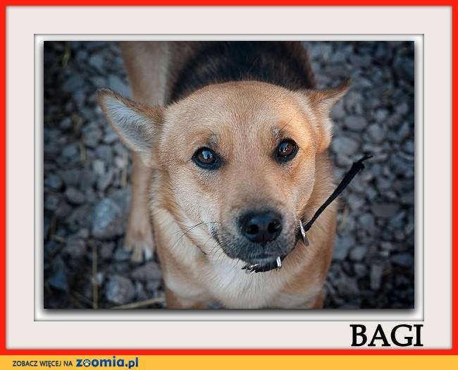 Średni 10 kg,2 letni,przytulaśny,przyjazny,zaszczepiony psiak BAGI_Adopcja_