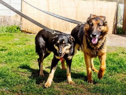 Romeo i Julia, historia psiej miłości, cudowne psiaki adopcja