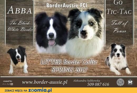 Border Collie FCI ,  opolskie Opole