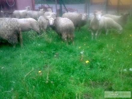 Sprzedam jagnięta i owce