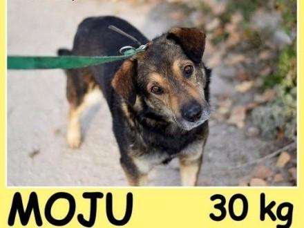 Dosyć duży 30 kg  przyjazny przemiły grzeczny psiak MÓJAdopcja   śląskie Katowice
