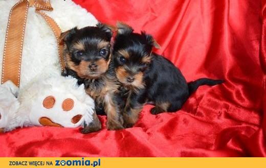 Yorki malutkie szczeniaki z rodowodem (paszport),  wielkopolskie Leszno