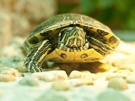 Oddam za darmo żółwia wodno lądowego  bo się przeprowadzam