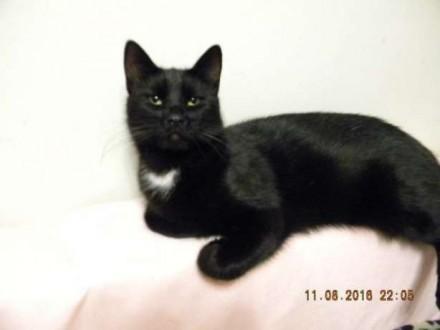 Hebanowa  piękna 1 5 roczna koteczka tęskni za domkiem_