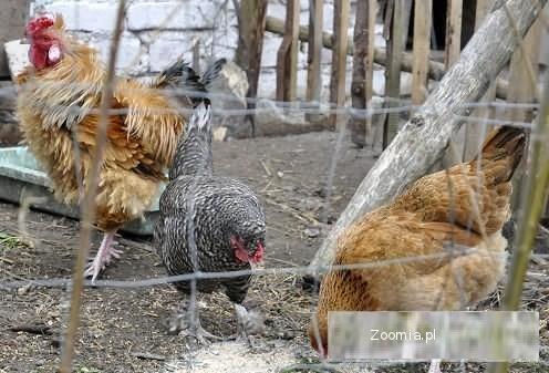 kury wiejskie -jaja lęgowe