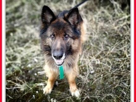 Owczarek niem,kontaktowy,nieufny do obcych,szczepiony pies ZEUS.Adopcja.,  łódzkie Łódź