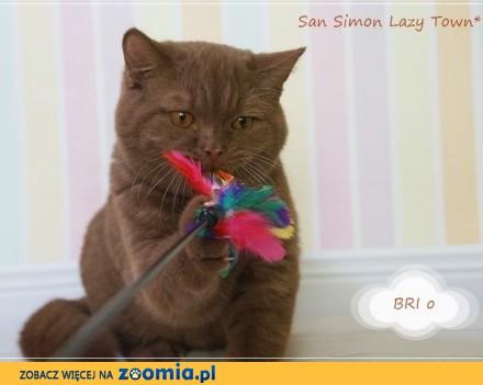 San Simon - cynamonowy kocurek brytyjski rodowód WCF