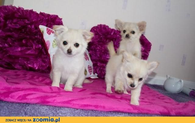 mężczyzn i kobiet Chihuahua szczenięta do przyjęcia w lewo