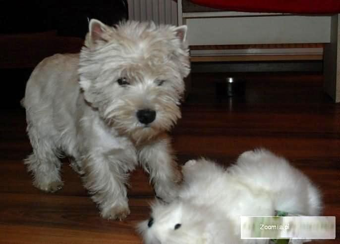 WESTIE - Rod. Suczka - west highland white terrier