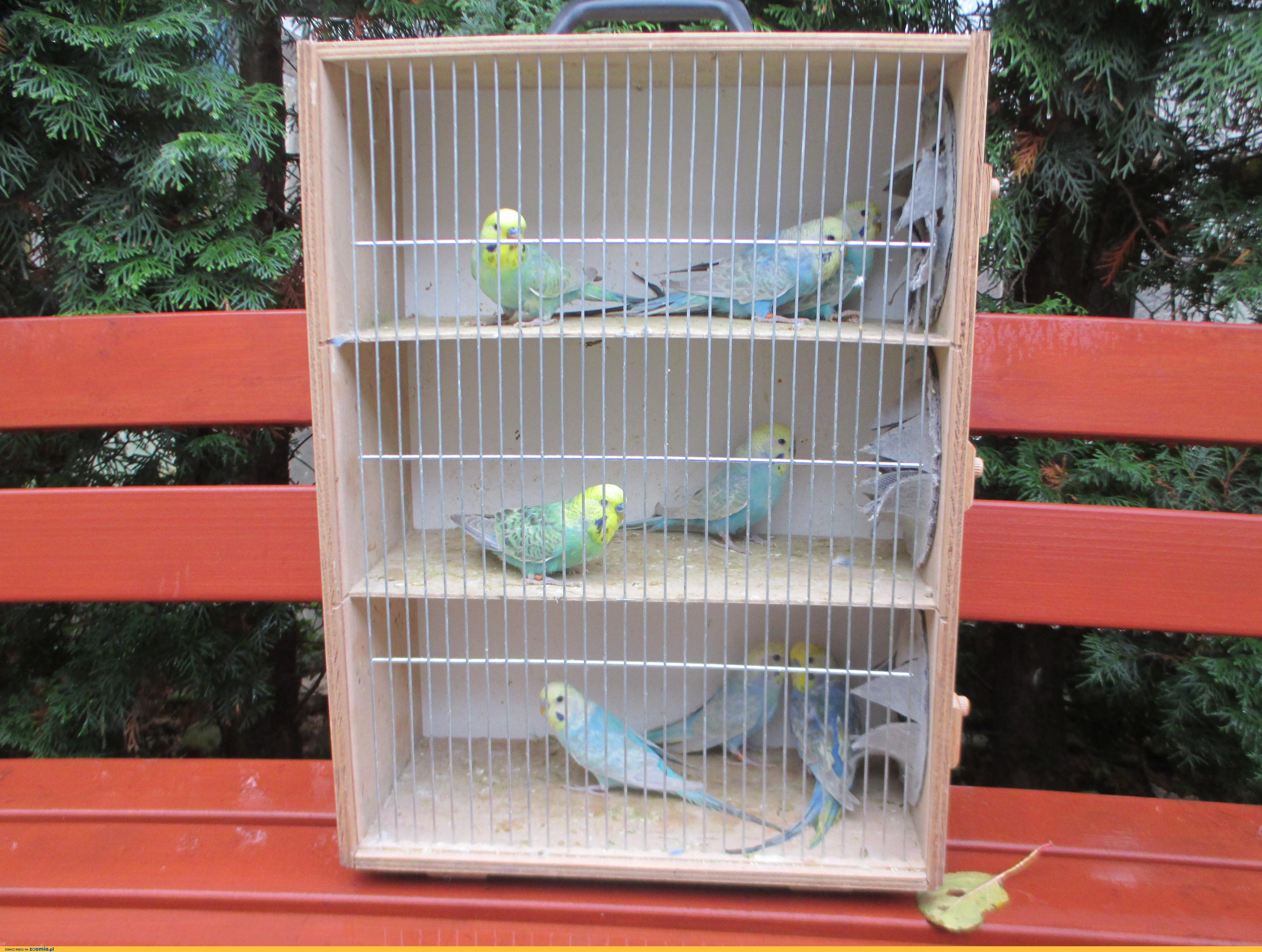 Papużki faliste tęczowe- samce