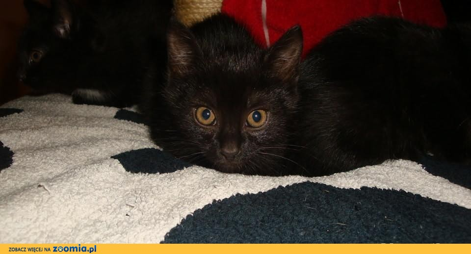 oddam przecudowne czarne kocieta