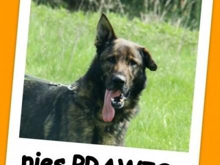 Wilczasty duży pies PRAWIS  energiczny żywiołowy aktywnyAdopcja   dolnośląskie Wrocław
