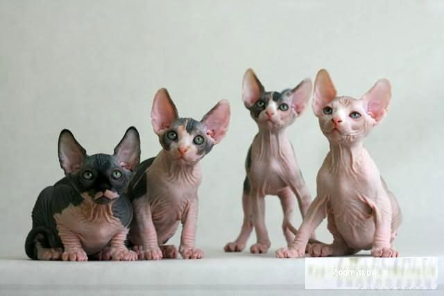 Modernistyczne Kot Sfinks - ogłoszenia z hodowli. Koty Sfinks / Zoomia.pl pl 2 PJ13